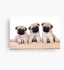 Three pug puppy Canvas Print