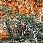 Ghost Gums in the Gorge by Bette Devine