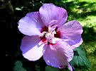 A Pink and Blue Hibiscus. by barnsis