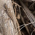 Sand lizard by lenses-and-ink