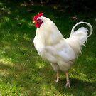 Proud White Rooster by Susie Peek