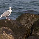 Seagull on the rocks by lenses-and-ink