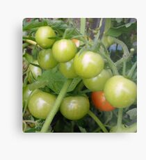 Cherry Tomatoes on the Vine Metal Print