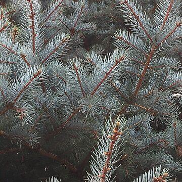 Blue spruce  by cmoartist2012