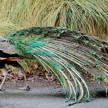 Strutting Peacock by imaginethis