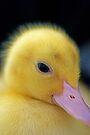 Golden Duckling by Extraordinary Light