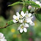 Apple Blossom by cuprum