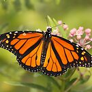 Monarch Beauty by Gregg Williams