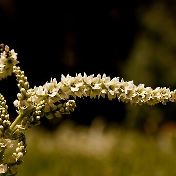 Veratrum californicum - Sequoia National Park Meadow Flower by Buckwhite