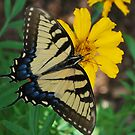 Giant swallowtail by Tracey Hampton