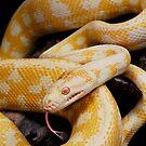 Albino Northern Territory Carpet Python (Morelia spilota variegata) by Shannon Wild