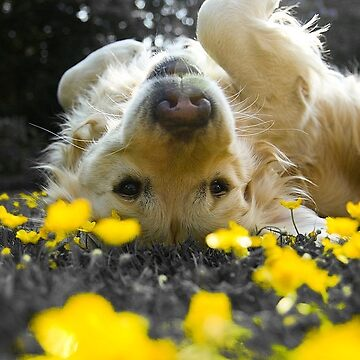 Retriever Laying in Yellow Flowers by WInc2017