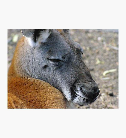 Big Red Kangaroo Photographic Print