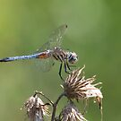Blue Tail by EugeJ