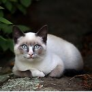 Snowshoe Siamese Cat by mlorenz
