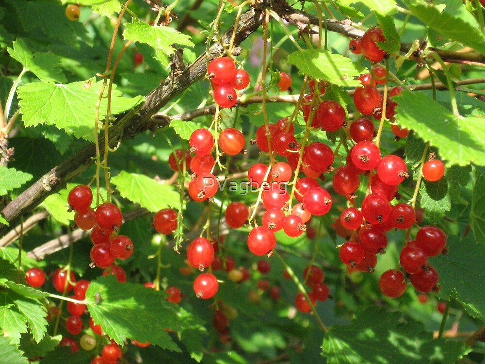 Redcurrant in sweden by PVagberg