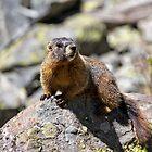 Marmot by Valentina Gatewood