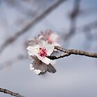 Almond blossom by emmelined