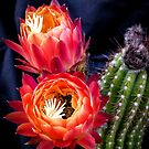 Buds of the Trichocereus Embers by Linda Sparks