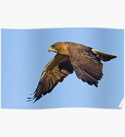 082909 Swainson's Hawk Poster