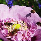 Bees Buzzing in a Purple Poppy by jsmusic