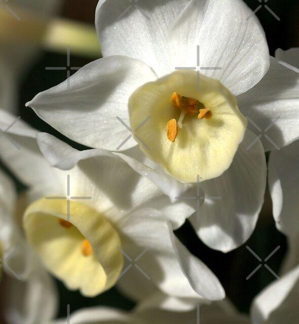 Kicking Back - Daffodils by Joy Watson