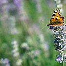 Lady Lavender by Amanda White