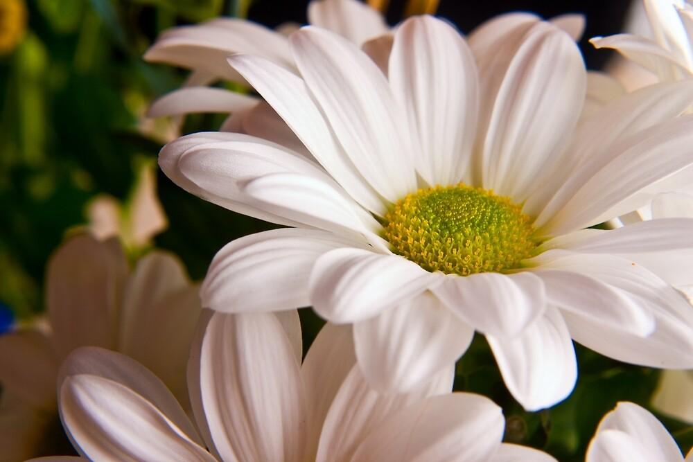 White Chrysanthemum flower  by Vicki Field