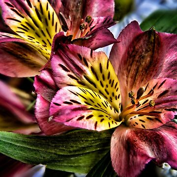 Alstroemeria Peruvian Lily flowers by InspiraImage