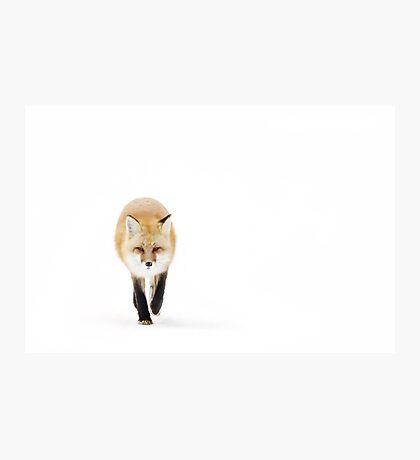 Fox on the move - Algonquin Park Photographic Print