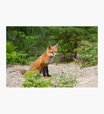 Red fox kit - Algonquin Park, Canada Photographic Print
