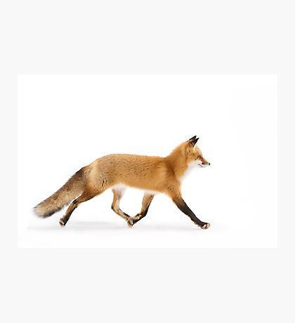 Red Fox Walk- Algonquin Park Photographic Print