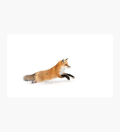 Running Fox - Algonquin Park Photographic Print