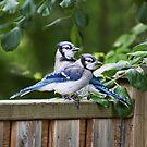 Blue Jay Vögel von Peggy Collins