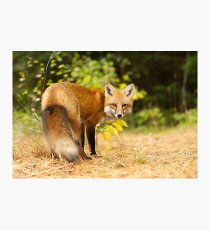 Red Fox, Algonquin Park Photographic Print