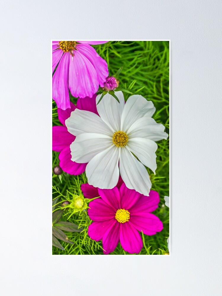 Alternate view of White and pink flowers Poster