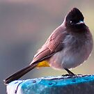 BLAC-EYED OR DARK - CAPPED BULBUL by Magriet Meintjes