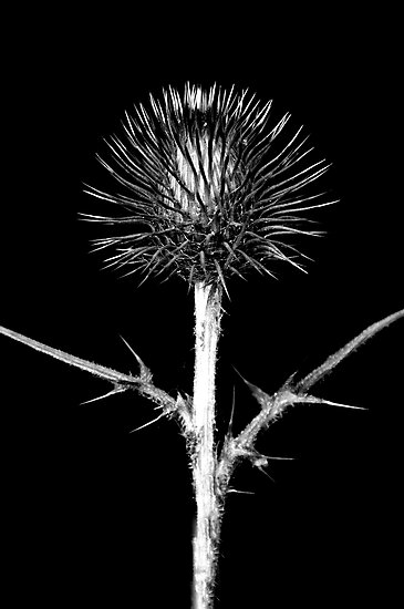 Thistle by Simon Hackney