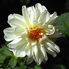White and Gold Dahlia Kissed by the Sun by MidnightMelody