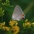 Lazy August- Gray Hairstreak at Rest by David Lamb