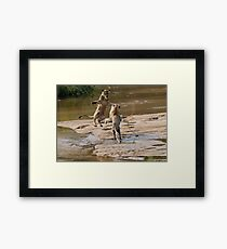 Lions Playing In Water Framed Print