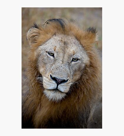 Manyaleti Male Lion Photographic Print