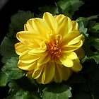 Golden Dahlia by Kathryn Jones