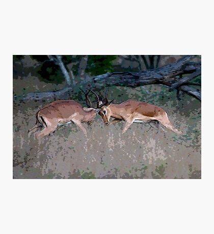 Impala Rutting  Photographic Print
