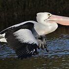 Flight Of The Pelican by hurky