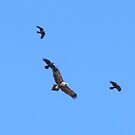 Three 'Little Ravens' attack Wedge tailed Eagle. by Rita Blom