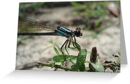 Pitts Spring (Florida) Damsel by May Lattanzio