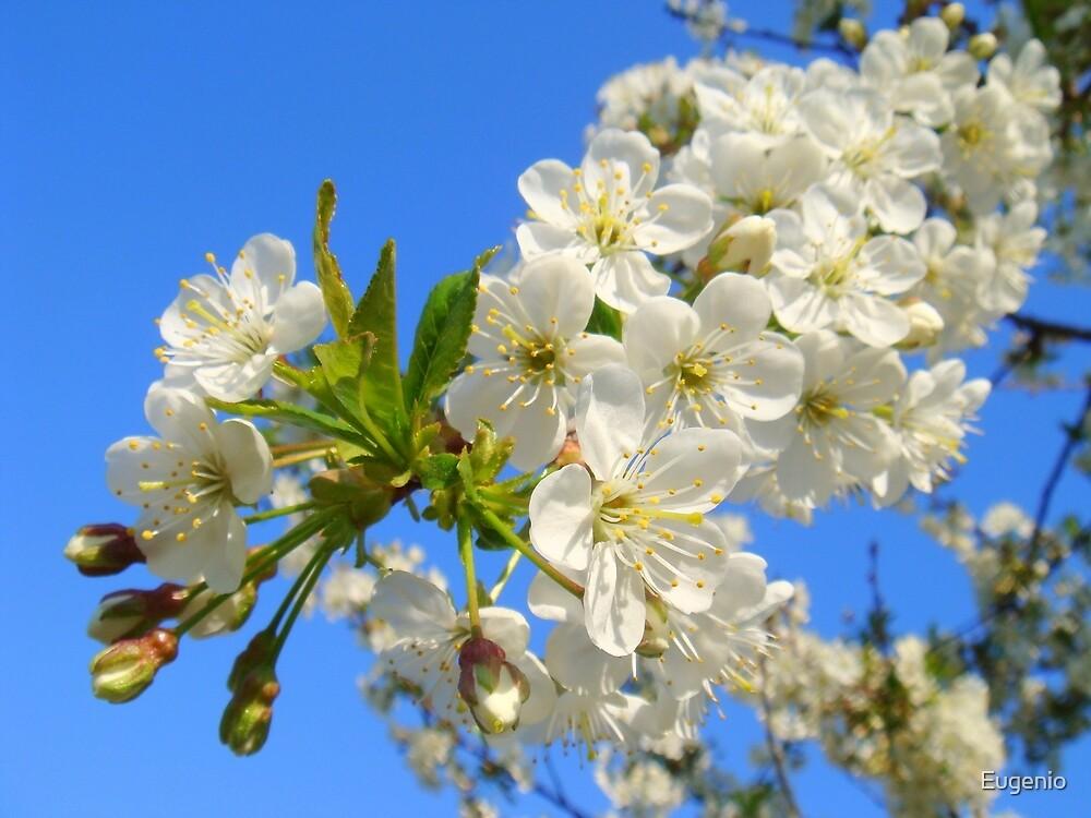 White Blossom. by Eugenio