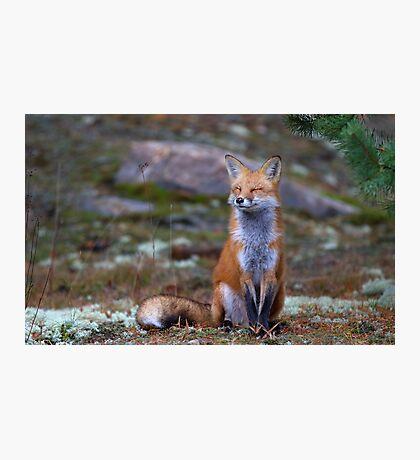 Red Fox Zen - Algonquin Park, Canada Photographic Print