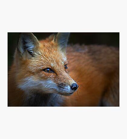 Red Fox, Algonquin Park, Canada Photographic Print